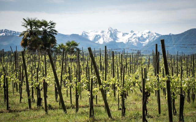 le vignoble - Domaine Cabarrouy