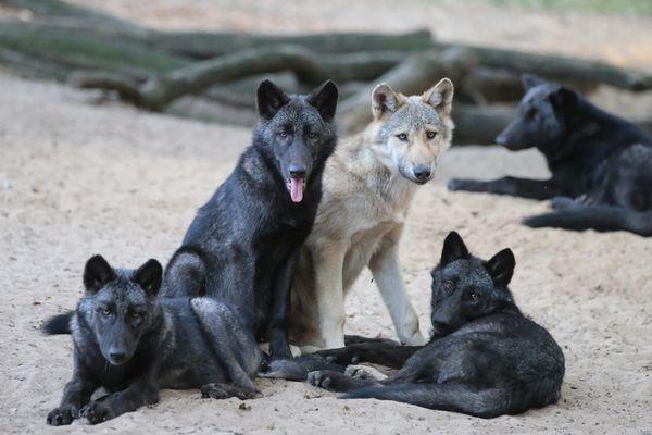 Zoo-labenne-Loups-OTI LAS