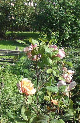 rose bd.jpg_2