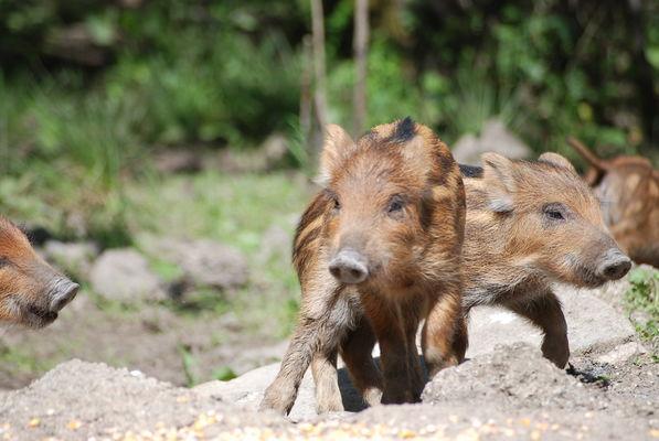 Parc animalier-Nature sauvage des lacs-Marcassins-Lac du Der