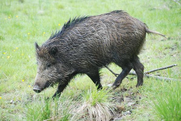 Parc animalier-Nature sauvage des lacs-Sanglier-Lac du Der