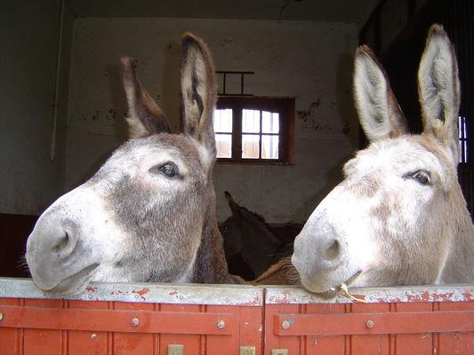 Les ânes Ninon et Solstice