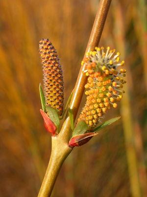 Salix-viminalis-Gigantea