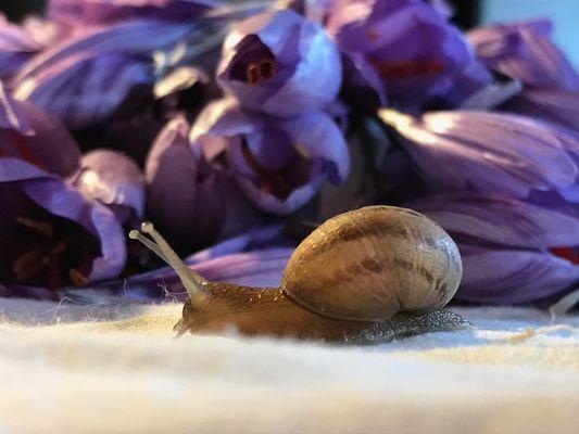 escargots-safran