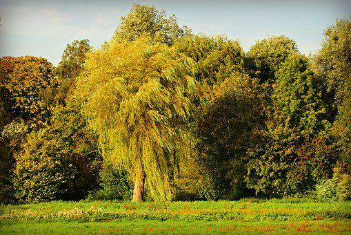 Saule - arbre