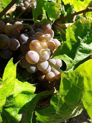 Grappe blonde © Les vignerons en terres romanes
