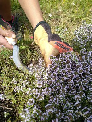 Cueillette des plantes aromatiques