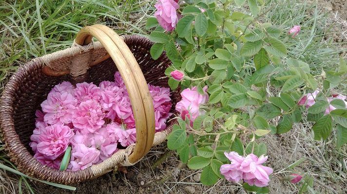 Panier de roses et rosier