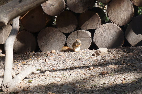 ecureuils (2)