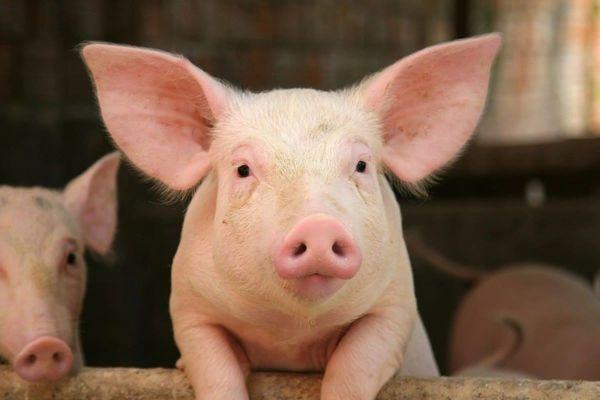 tiretaps-cochon-rose