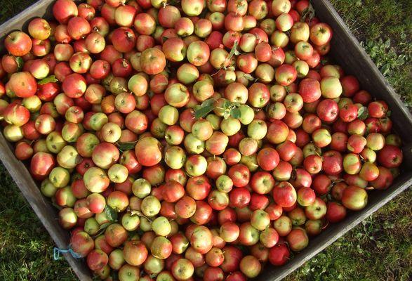 pommes-17