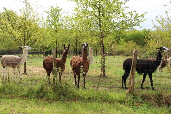 Loire-Valley-Llamas-Lavernat--2-