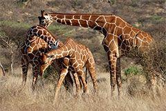 girafes_240