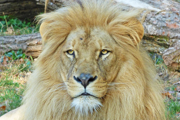 LION NZM