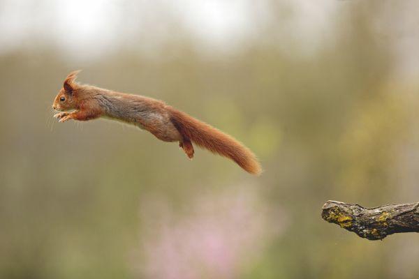 biotopia foret notre dame de monts vendee ecureuil louis marie preau