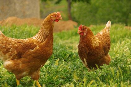 64228_poulet-bio