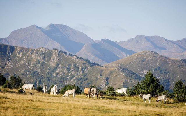 Vache Beille