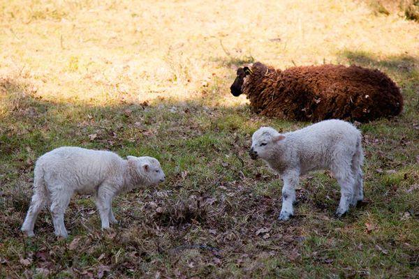 Vue-moutons-Petit-train-touristique-Carnac-Morbihan-Bretagne-Sud