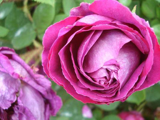Roseraie du Patrimoine Ardennais