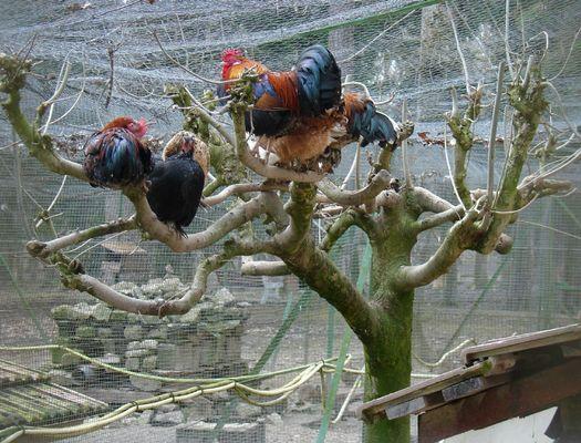 champagne 52 bourbonne nature parc animalier la bannie poules.