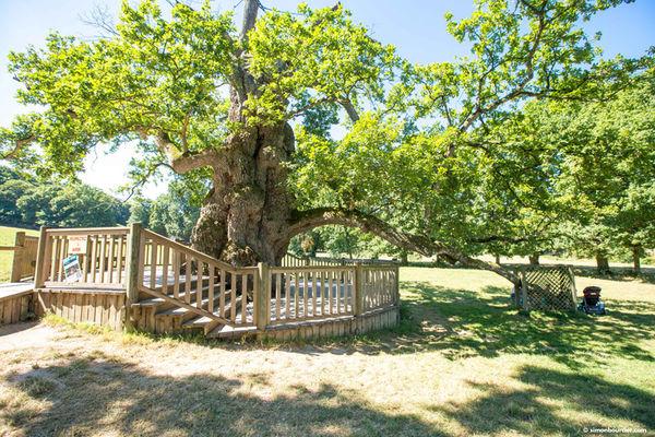 Chêne Guillotin forêt de Brocéliande