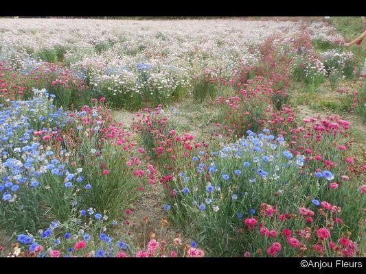 DEG-anjou-fleurs-04