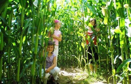 Labyrinthe de maïs Jardins des renaudies colombiers du plessis mayenne DIdillon
