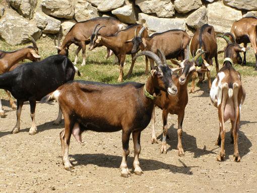 Le troupeau de la fromagerie