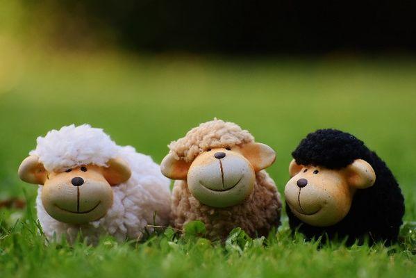 Moutons WEB