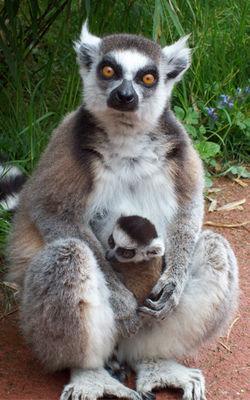 lemurien-zoodasson