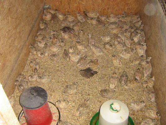 Cailles 14 Vente de cailles et oeufs prés de Lisieux Groupe de cailles