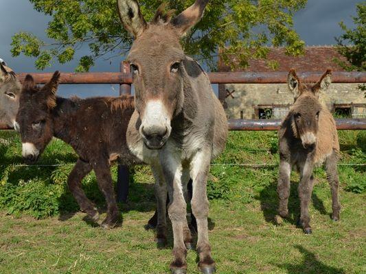 Equus Asinus Asinerie a Hieville prés de Lisieux Ânes en gros plan