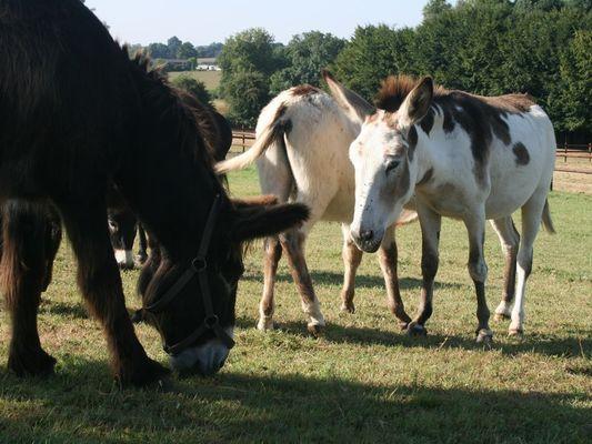 Equus Asinus Asinerie a Hieville prés de Lisieux Groupe d'ânes