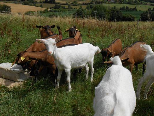 Ferme de la Biquetière à Tortisambert Chèvres dans le pré