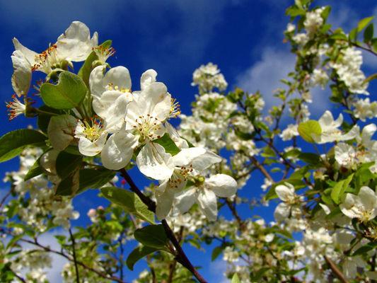 Fleurs de pommiers dans le Calvados