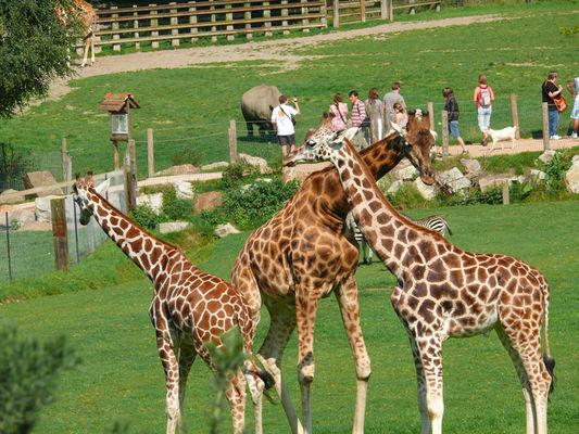 Girafes au parc Cerza près de Lisieux