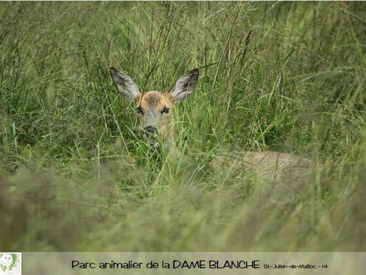 chevrette2-dame-blanche