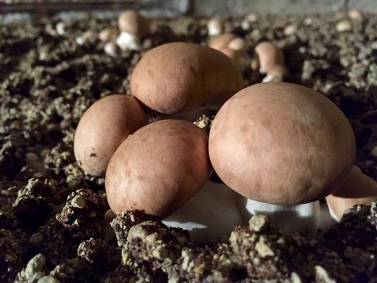 Petits champignons de Paris