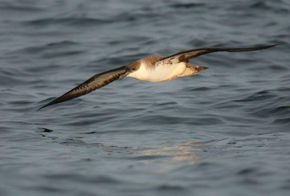 Faune Océan - puffin-majeur-