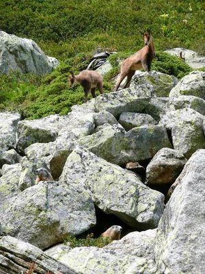 Isard et Marmottes - Refuge d'en Beys