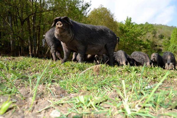 la ferme aux cochons