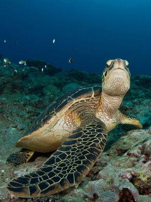 -1 tortue - Bleu Marine Réunion