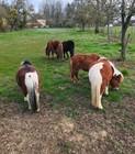 les poneys photo de Pinel Pauline.jpg