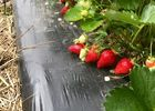 fraises 1.jpg