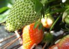 fraises 3.jpg