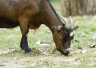 Les chèvres près de l'air de pique nique.jpg