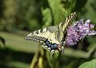 3. papillon Machaon.jpg