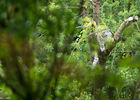 Panthere des neiges © Bioparc - L. Joffrion.jpg