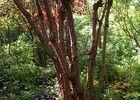jardins Cistus Prunus (7)-sit.jpg