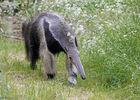 Fourmilier_Zoo des Sables - S. Silhol.jpg